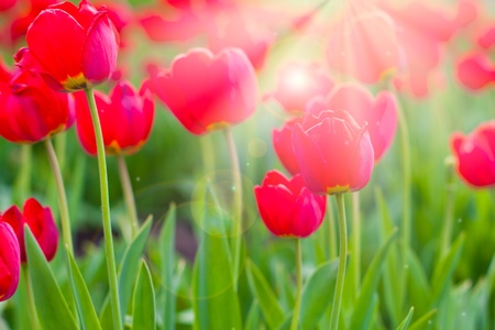 Closeup of Red tulips background Stock Photo - 10560901