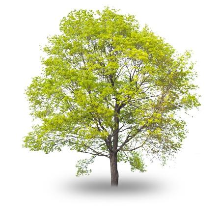 Einzelner Baum mit Schatten auf weißem Hintergrund