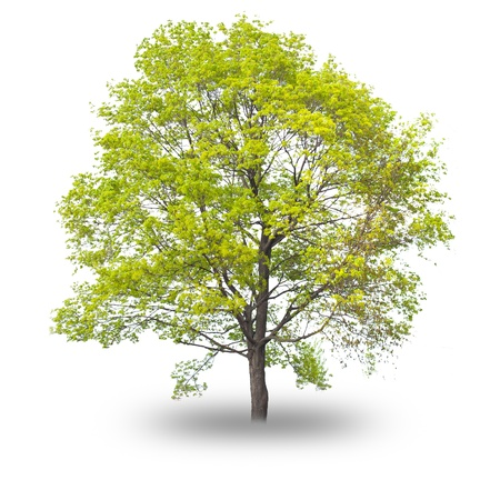 Single tree with shadow isolated on white background photo