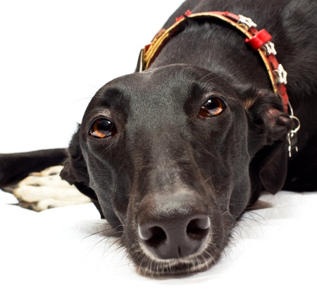 Greyhound (18 months) in front of a white background photo