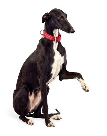 Greyhound dog, 18 months old, sitting in front of white background