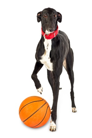 Dog playing ball - Greyhound dog, 18 months old,  with basketball on white background photo