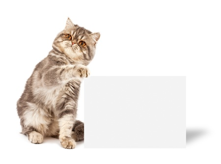 Kitten Exotic shorthair with placard or banner for your text on white photo