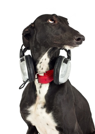 Greyhound dog with headphones on white Stock Photo - 11904062