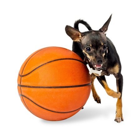 Dog playing ball - Toy terrier dog, 18 months old, with basketball on white background photo