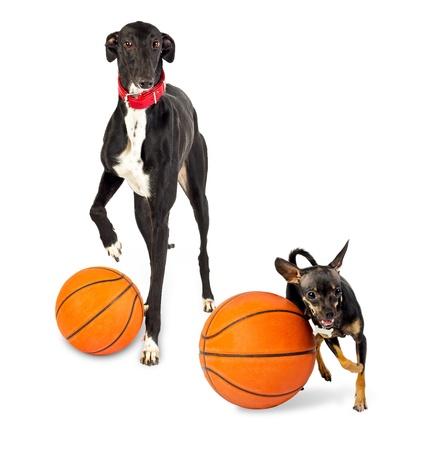Greyhound dog and toy dog  with a basketballs on white background photo