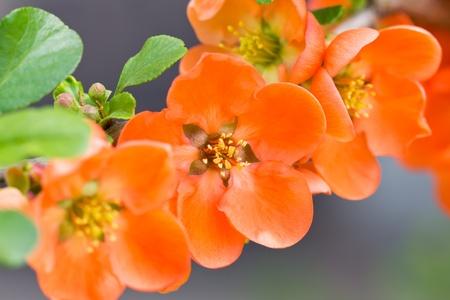 wild  rose: Red rosa selvatica fiori closeup