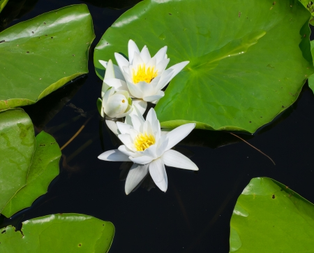Water lily with green leaves on the lake photo