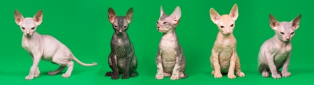 Don sphynx kittens on a green background photo