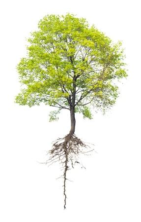 plant with roots: �rbol con una ra�z en un fondo blanco