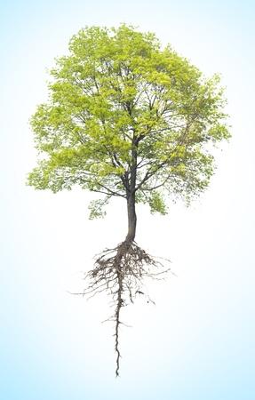 raices de plantas: �rbol con una ra�z en un fondo blanco