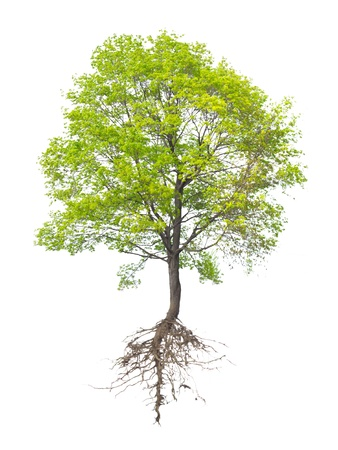 Tree with a root on a white background