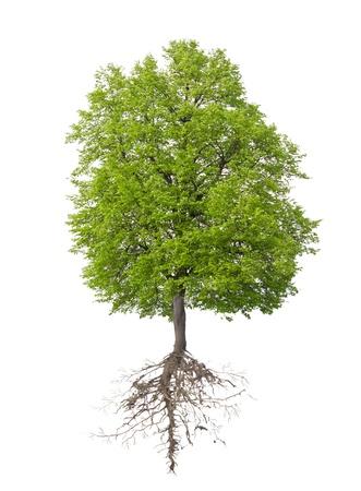 racines: Arbre avec une racine sur un fond blanc