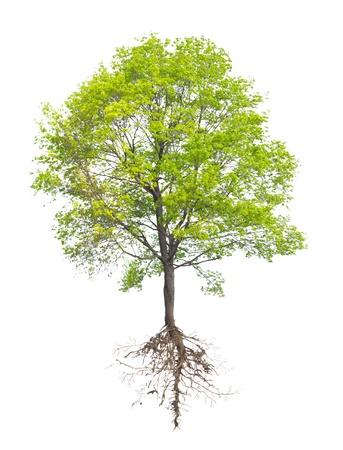 白い背景の上のルートを持つツリー