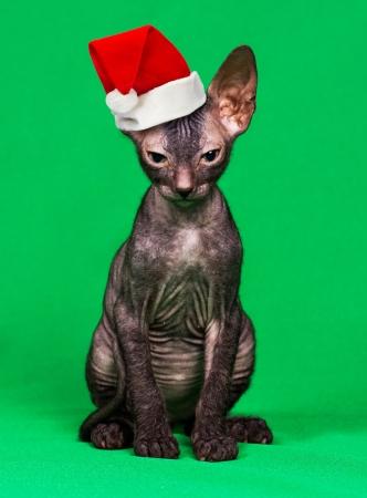 stocking cap: Kitten in a Christmas hat on a green background