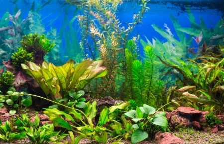 Interior aquarium  A green plant tropical freshwater aquarium