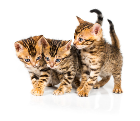 Three Bengal kitten with reflection on white background photo