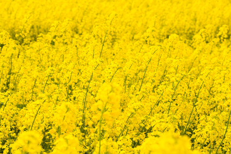 Yellow rapeseed field as background photo