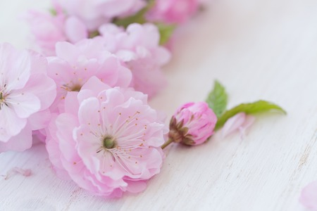 almond bud: Pink flowers close-up on white wooden background Stock Photo