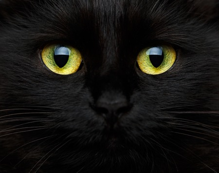 horrors: Cute muzzle of a black cat closeup