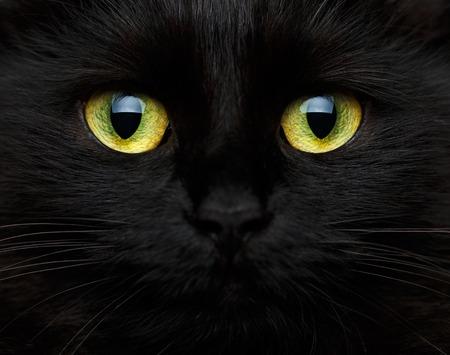macro animals: Cute muzzle of a black cat closeup
