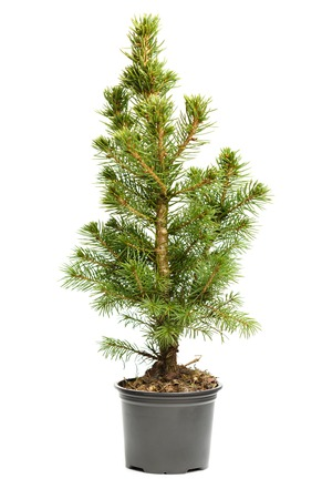 undecorated: Small, real undecorated bare Christmas tree in a pot isolated on white background
