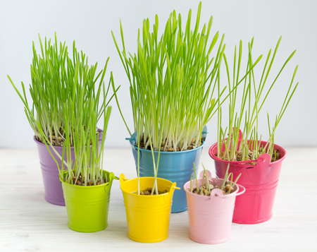 longevity: Fresh green grass in bright multi-colored buckets. Veganism and the concept of environmental protection