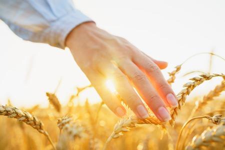 Mano femminile toccando un grano dorato sul campo in una luce del tramonto Archivio Fotografico - 84063154