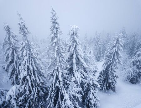 Aerial view on the coniferous forest in the mountains in winter. Heavy snow and blizzard, uncomfortable unfriendly winter weather. Imagens