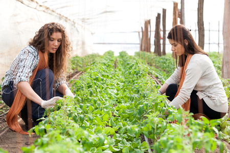 Two female green house workers planting crop photo