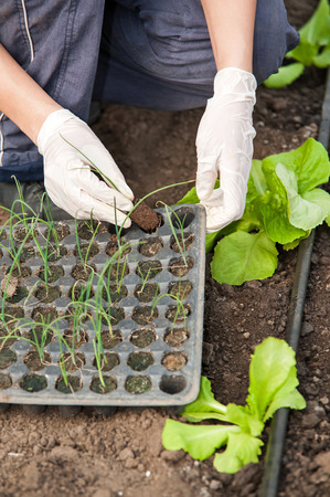 Green house worker hands planting seedlings photo
