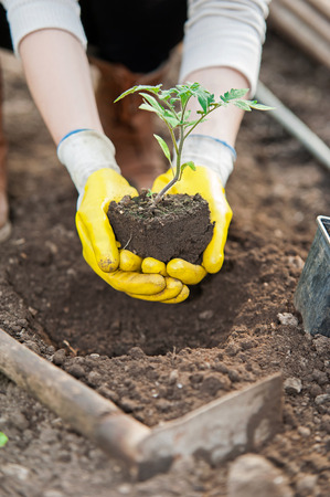 Agriculture worker planting crop on soil photo