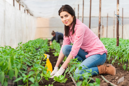 Young woman working in a greenhouse planting salad seedlings and an other worker on background photo