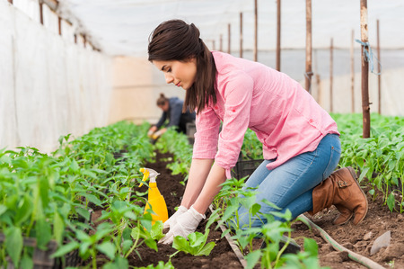 Young woman working in a greenhouse planting  salad seedlings and an other worker on background 写真素材