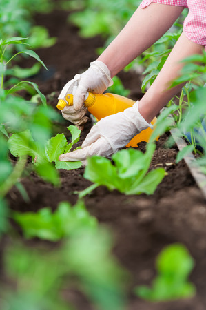 Closeup of woman hand with  gloves cultivating salad seedling in a greenhouse with a yellow spray bottle photo
