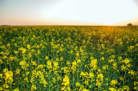 Majestic sunset in the yellow field rapeseed  Summer Landscape photo