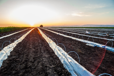 israel agriculture: Young watermelon plantation cover with nylon sleeve  Field in the sunset