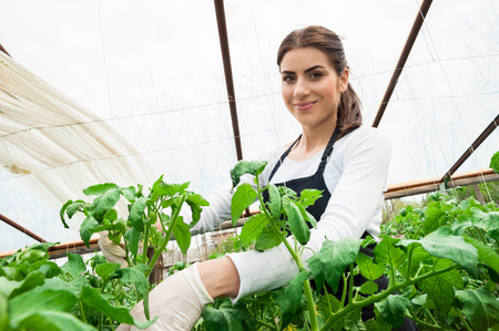 Working with pleasure  Beautiful young woman in uniform gardening and smiling at camera  Greenhouse produce  Food production  Tomato growing in greenhouse