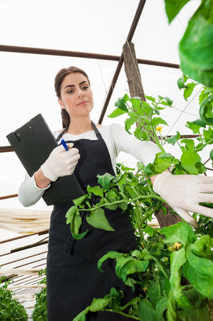 Young female gardener checking tomato crop having white gloves, uniform and clipboard Stock fotó