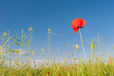 Red poppies against the blue sky in poppies field photo