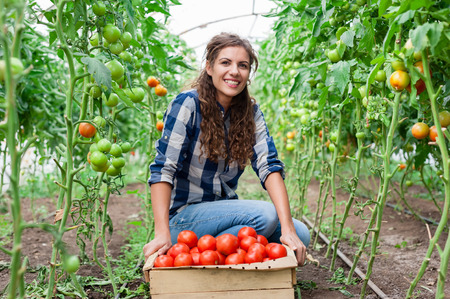 beautiful garden: Young smiling agriculture woman worker and a crate of tomatoes in the front, working, harvesting tomatoes in greenhouse. Stock Photo