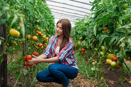 Young smiling agriculture woman worker and a crate of tomatoes in the front, working, harvesting tomatoes in greenhouse. Stockfoto