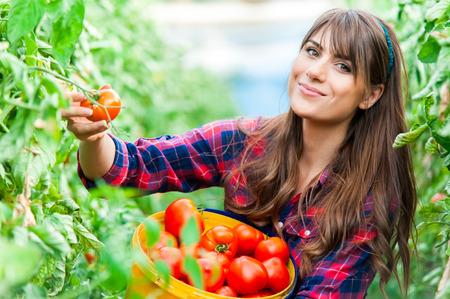 Młoda kobieta w szklarni z pomidorami, zbioru.