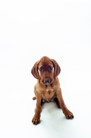 vizsla: VIzsla dog sitting  on white background
