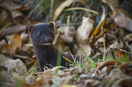 mink: The American mink hid in autumn foliage.