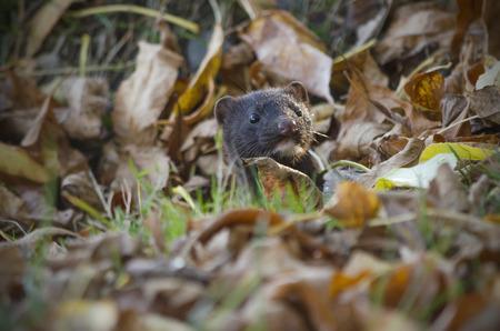 visone: Il visone americano nascosto in autunno.