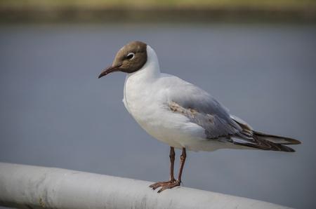 ridibundus: Lake seagull - Larus ridibundus