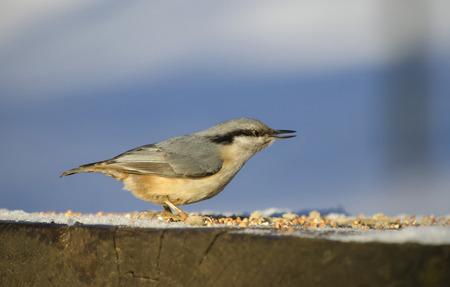 trough: Nutcracker on a feeding trough.