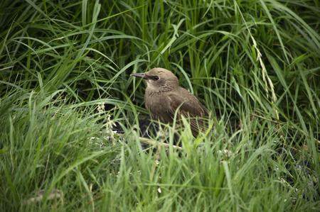 baby bird: Baby bird ingot of a starling