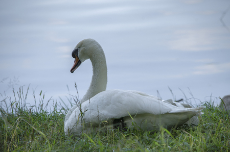 The white swan has lain down to have a rest Stock Photo